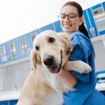 Labrador looking forward with vet tech